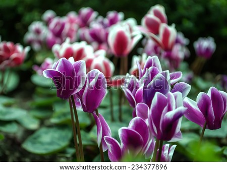 Purple and red Cyclamen flower in greenhouse nursery at Garden by the Bay, recreational  and educational park in Singapore: Beautiful pink red flora in natural indoor botanic green house   - stock photo