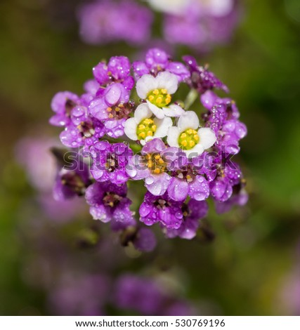 Purple and white Alyssum flowers with dew drops