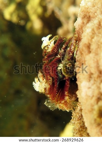 Purple and white Christmas tree worm on hard coral - stock photo