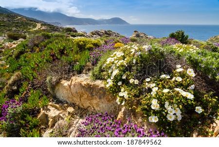 Purple and white flowers in the maquis at La Revellata near Calvi in Corsica - stock photo