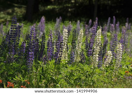 Purple and white lupine in a green field - stock photo