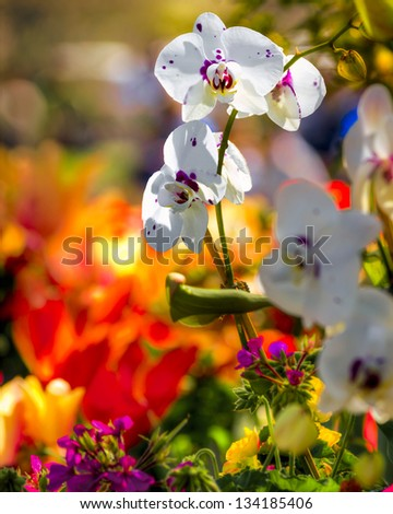 Purple and white orchids against a blurred background of colorful daffodils - stock photo