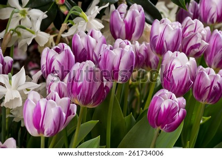 Purple and White Spring Easter Tulips
