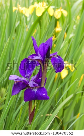 Purple and yellow irises in the garden . Shallow dof with selective focus on  nearest flowers. - stock photo