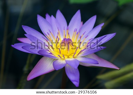 Purple and yellow water lily rising from the pond.