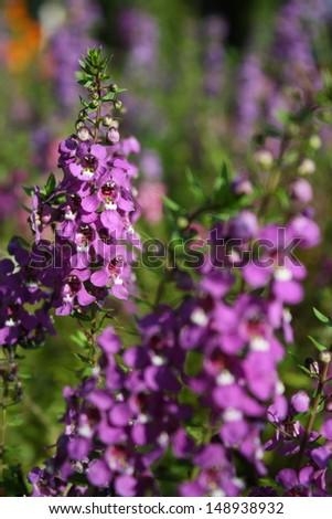 purple Angelonia goyazensis flower  - stock photo
