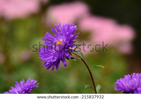 Purple Aster blooming in the garden - stock photo