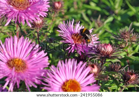 purple autumn flowers and bumblebee.  Wild pale purple Michaelmas Daisies (Aster sp.) in flower in early Autumn.  - stock photo