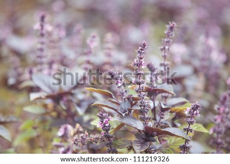 Purple Basil Faded into background being grown organically - stock photo