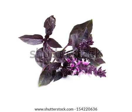 Purple basil isolated on white background - stock photo