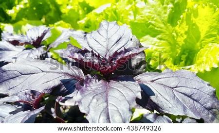 purple basil on green background - stock photo