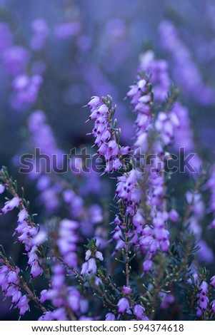 Purple bell flowers stock photo royalty free 594374618 shutterstock purple bell flowers mightylinksfo