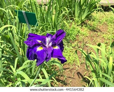 purple blooming of iris flower in garden  - stock photo