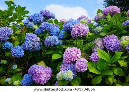 Purple, blue and pink heads of hydrangea flowers