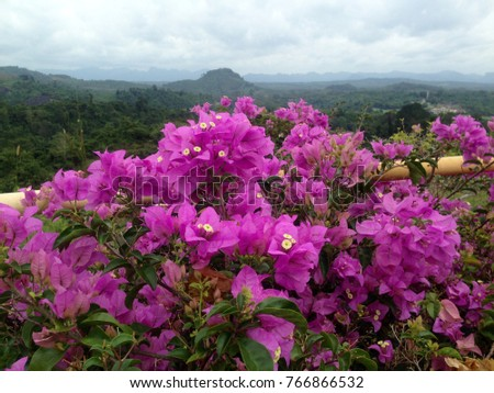 Purple Bougainvillea in Thailand