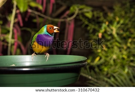 Purple-breasted red-headed Gouldian male Finch. Scientific name Erythrura, Chloebia gouldiae. Open beak