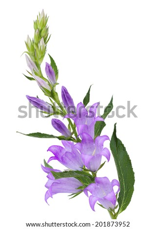 Purple Campanula bell flower isolated on white background - stock photo
