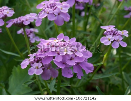 Purple Candytuft Flowers - stock photo