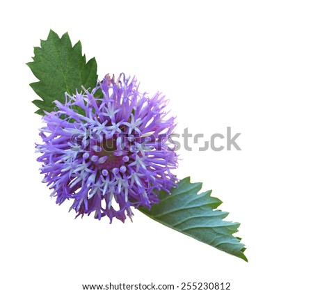 Purple Centratherum punctatum Larkdaisy flower isolated on white background - stock photo