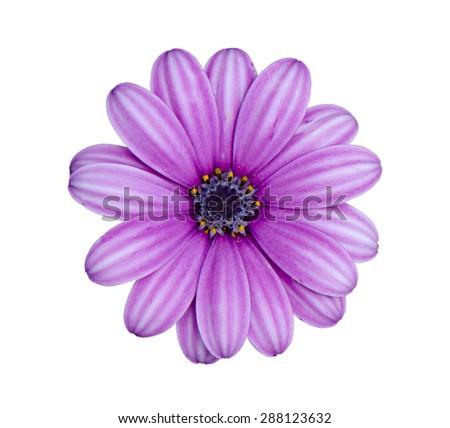 Purple chrysanthemum flower (daisy family) isolated on white background. - stock photo