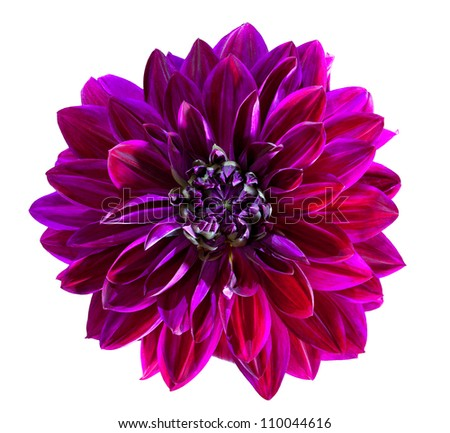 Purple Chrysanthemum Flower Isolated on White Background - stock photo