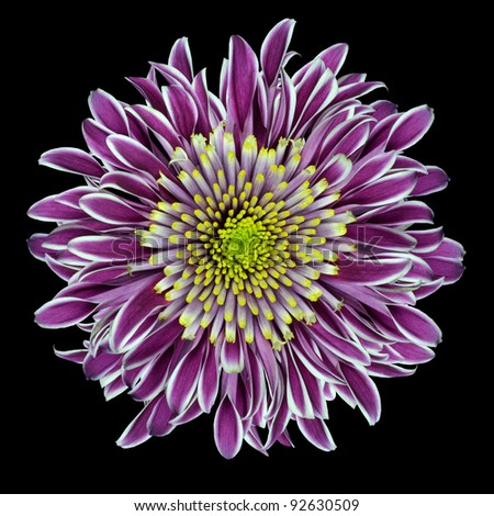 Purple Chrysanthemum Flower  with Lime Green White Center Isolated on White Background - stock photo