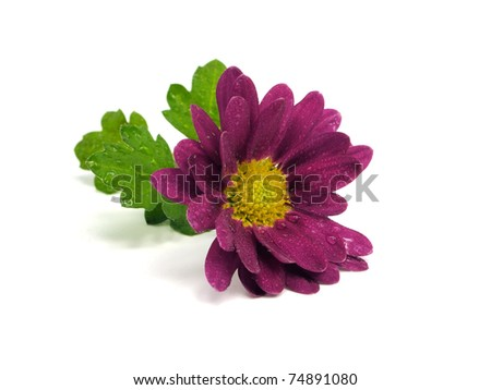 Purple chrysanthemum flower with water drops on the white background - stock photo