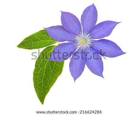 purple clematis branch isolated on white background  - stock photo