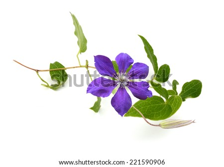 Purple clematis flower branch isolated on white background  - stock photo