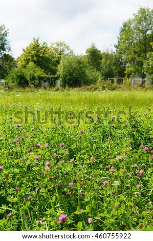 Purple clover flowers on a sunny day