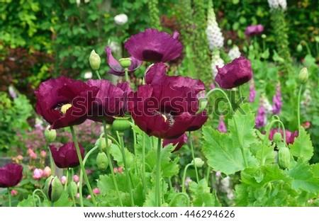Purple colored Poppies. - stock photo