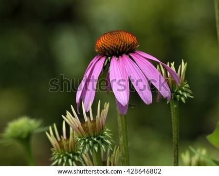 Purple Coneflower in a garden - stock photo