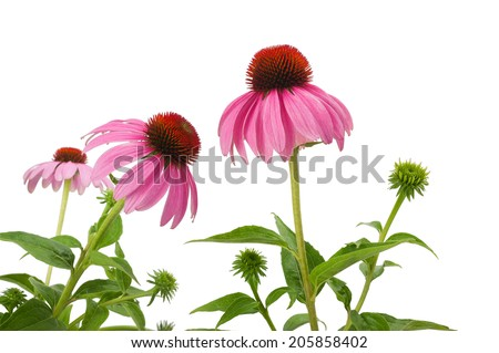 Purple Coneflowers isolated on white - stock photo
