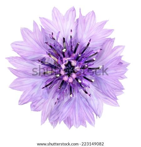 Purple Cornflower Flower Isolated on White Background. Centaurea cyanus flowerhead wildflower on plain background - stock photo