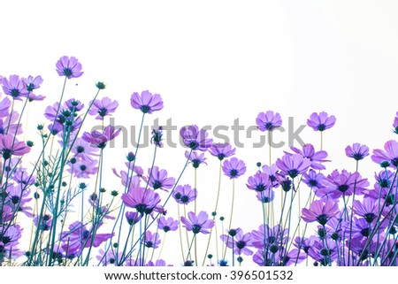Purple cosmos flowers on white background