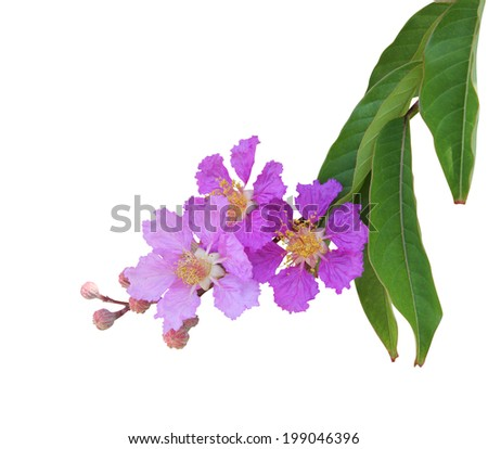 Purple crape myrtle flower (Lagerstroemia speciosa)  - stock photo