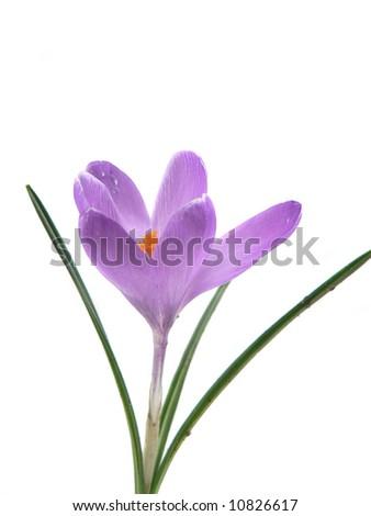 Purple Crocus Flower isolated on white background - stock photo
