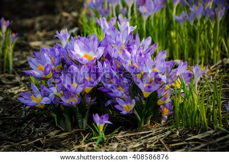 purple crocus flowers closeup  - stock photo