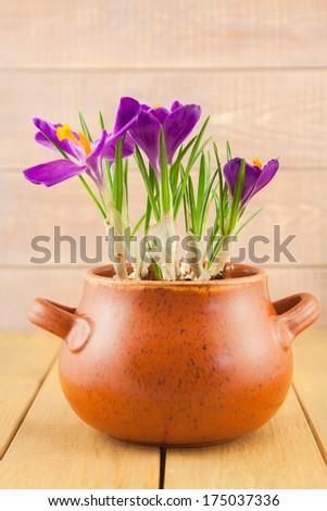 purple crocus flowers in a vase pot on planks background - stock photo