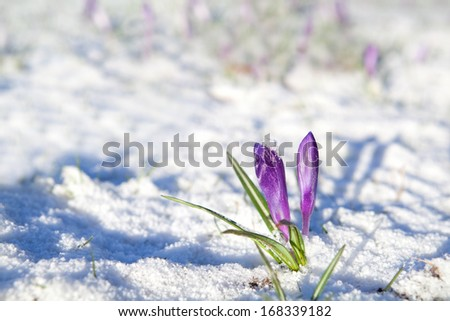 purple crocus flowers on snow durinf sunny spring day - stock photo