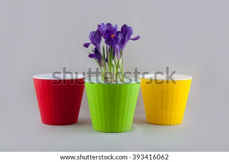 Purple crocus in green pot and two empty colorful plastic flowerpots on bright background - stock photo