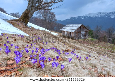 Purple crocus in high mountain - stock photo