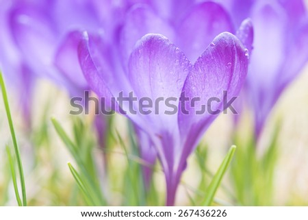 Purple crocuses in spring, close up, shallow depth of field - stock photo