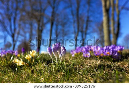 Purple crocuses on bright spring day with trees and blue sky in background - stock photo