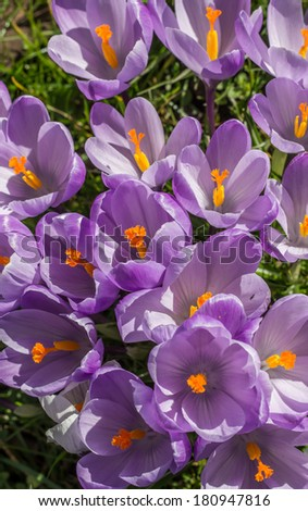 Purple crocuses with yellow pistil in green grass