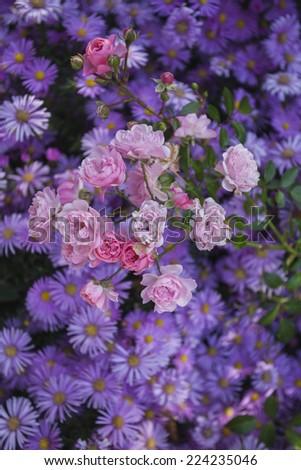 purple daisies flowerbed bushes rose pink tenderness - stock photo