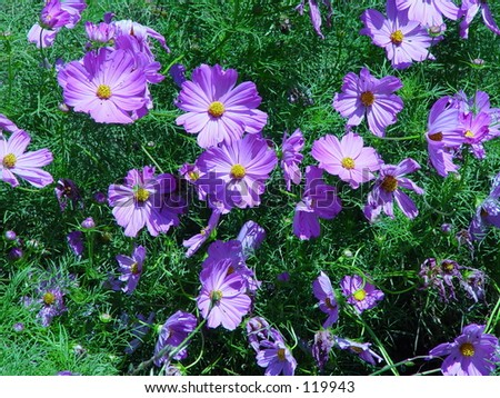 Purple Daisy - stock photo