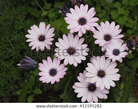 Purple Daisy flower close up.(Selected focus) - stock photo