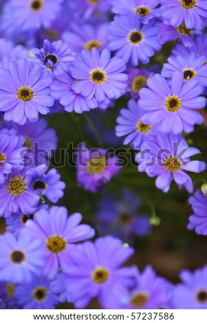 purple daisy wind flower of Western Australia - stock photo