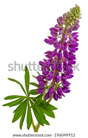 Purple delphiniums  flowers isolated on white background - stock photo
